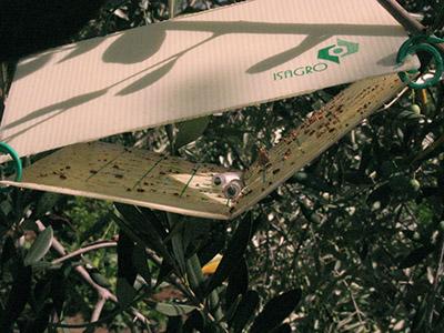 Trappola cattura insetti in un albero di ulivo